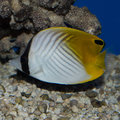 stock image of  Auriga Butterflyfish
