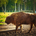 Aurochs in wildlife sanctuary Royalty Free Stock Photos