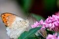 Aurorafalter orange tip anthocharis cardamines male sucking nectar on a pink flower Royalty Free Stock Photography