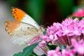 Aurorafalter orange tip anthocharis cardamines male sucking nectar on a pink flower Royalty Free Stock Image