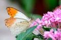 Aurorafalter orange tip anthocharis cardamines male sucking nectar on a pink flower Stock Images