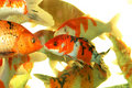 Auspicious koi fishes Stock Photos