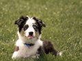 Aussie puppy sticking tongue out australian shepherd is her while lying in the grass Stock Image
