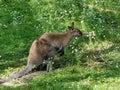 Austrailian Wallaby Royalty Free Stock Photo