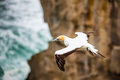 The Australasian Gannet Royalty Free Stock Photo