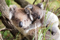 Australia Baby Koala Bear and mom at the bottom of a tree Royalty Free Stock Photo