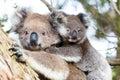 Australia baby koala bear and mom sitting on a tree Stock Photos