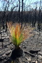 Australia bush fire burnt grass tree regenerating xanthorrea with growing green shoots blue mountains new south wales Stock Images