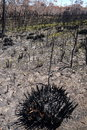 Australia bush fire burnt swamp regenerating land with growing green shoots blue mountains new south wales Stock Images