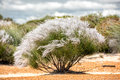 Australia bush flowers flora detail Royalty Free Stock Photo