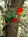 Australia: King parrot in banksia tree Royalty Free Stock Image