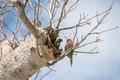Australia parrot on boab tree Royalty Free Stock Photo