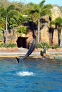 Australia Sea World Dolphin Performer Royalty Free Stock Images