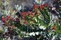 Australian Angophora tree laden with flower buds Royalty Free Stock Photo