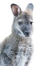 Australian Animal - young Kangaroo portrait Royalty Free Stock Photo