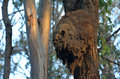 Australian arboreal termite colony nest in queensland australia since the withdrawal of soil barrier chemicals in attack Stock Photo