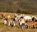 Australian beef cattle Brahman heifers Royalty Free Stock Images
