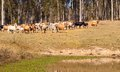 Australian beef cattle near water dam Stock Photo