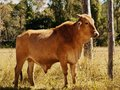 Australian beef cattle young bull Stock Photos