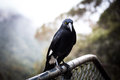 Australian bird pied currawong extreme closeup Stock Photos