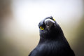 Australian bird pied currawong extreme closeup Royalty Free Stock Photography