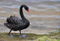 Australian Black Swan Walking Royalty Free Stock Photo