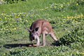 Australian Brown Kangaroo  Scratching the Ground Stock Image