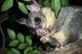 Australian Brushtail possum eating fruit Royalty Free Stock Photo