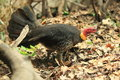 Australian brushturkey Royalty Free Stock Images