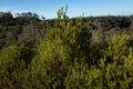Australian Bush Landscape With Native Shrubs Royalty Free Stock Photo