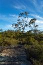 Australian Bush Landscape With Native Shrubs and Eucalyptus Tree Royalty Free Stock Photo