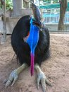 Australian cassowary southern casuarius casuarius also known as double wattled or two wattled Stock Photo
