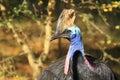 Australian cassowary the upper body of Stock Photos