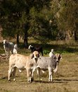 Australian cattle country Stock Image