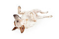 Australian cattle dog laying on back a playful laing his against a white backdrop Royalty Free Stock Image