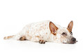 Australian cattle dog laying and looking up against a white backdrop Stock Photo