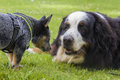 Australian cattle dog pup and bernese mountain dog an eight weeks old male saying hi to an adult male while the gentle giant tries Stock Images