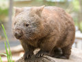 Australian common wombat stands on a log and watches curiously Royalty Free Stock Photo