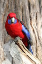 Australian Crimson Rosella Royalty Free Stock Photos