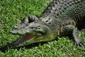Australian Crocodile Stock Photo