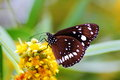 Australian crow butterfly on flower an feeding the nectar of an exotic flora and fauna Royalty Free Stock Photo