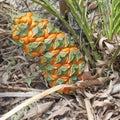 Australian cycad Macrozamia miquelii fruit cone Royalty Free Stock Photo