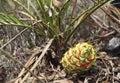 Australian cycad Macrozamia miquelii with fruit Royalty Free Stock Photo