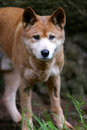 Australian Dingo Royalty Free Stock Image