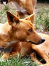 Australian dingo Stock Photo