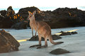 Australian eastern grey kangaroo beach,queensland Royalty Free Stock Photo