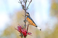Australian Eastern Spinebill on a Mountain Devil flower Royalty Free Stock Photo