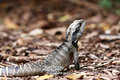 Australian Eastern Water Dragon on land. Stock Photography