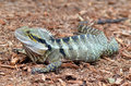 Australian Eastern Water Dragon Royalty Free Stock Photo