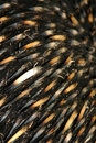 Australian Echidna Quills Royalty Free Stock Photography